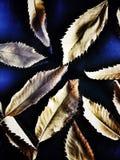 Folhas secadas Imagem de Stock