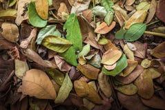 Folhas secadas da árvore de chuva: Samanea Saman Fotografia de Stock Royalty Free
