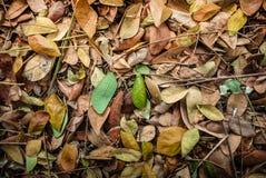 Folhas secadas da árvore de chuva: Samanea Saman Foto de Stock Royalty Free