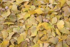 Folhas secadas da nogueira-do-Japão Fotografia de Stock Royalty Free