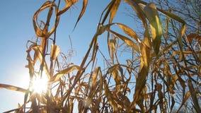 Folhas secadas do milho no por do sol vídeos de arquivo