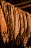 Folhas secadas do tabaco Fotografia de Stock Royalty Free