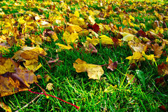 Folhas secadas na grama verde Fotografia de Stock