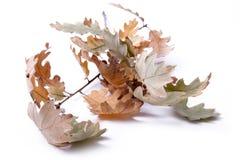 Folhas secas Imagem de Stock Royalty Free