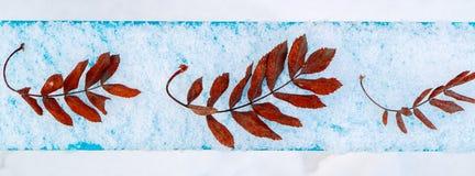Folhas secas caídas da mentira da cinza de montanha em seguido em uma placa, em uma neve e em umas folhas azuis cobertos de neve Fotos de Stock Royalty Free