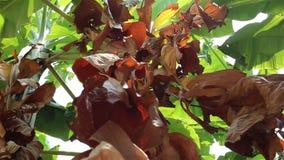Folhas secas da banana que balançam no vento vídeos de arquivo