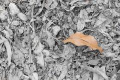 Folhas secas da teca caídas na terra Imagens de Stock