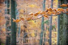 Folhas secas de Brown na árvore do outono, beleza na natureza Fotos de Stock