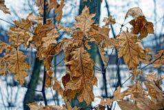 Folhas secas do carvalho marrom na floresta foto de stock royalty free