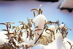 Folhas secas do sábio na neve ensolarada fotografia de stock