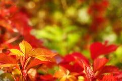 Folhas selvagens da uva fotos de stock royalty free
