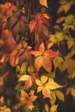 Folhas selvagens do vermelho da uva foto de stock royalty free