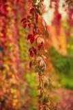 Folhas selvagens do vermelho da uva imagem de stock royalty free