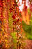 Folhas selvagens do vermelho da uva imagens de stock