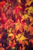 Folhas selvagens do vermelho da uva imagem de stock