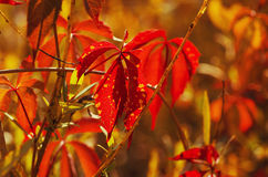 Folhas selvagens do vermelho da uva fotos de stock
