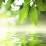 Folhas sobre a água Fotos de Stock Royalty Free