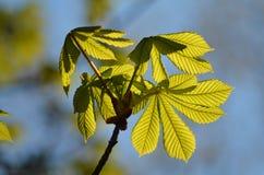 folhas Sun-embebidas da castanha fotos de stock royalty free