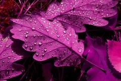 Folhas tóxicas do roxo fotografia de stock royalty free