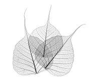 Folhas translúcidas Imagens de Stock Royalty Free