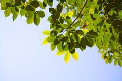 Folhas translúcidas da árvore da borracha de Para no verão Foto de Stock Royalty Free