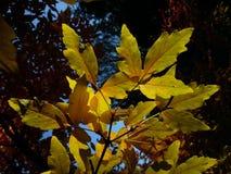 Folhas translúcidas da árvore de Acer Imagens de Stock Royalty Free