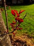 Folhas translúcidas do vermelho em uma árvore Fotografia de Stock Royalty Free