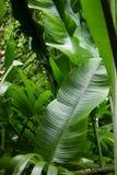 Folhas tropicais Fotografia de Stock