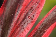 Folhas tropicais com gotas da água imagem de stock