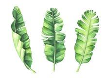 Folhas tropicais da banana ajustadas Fotos de Stock