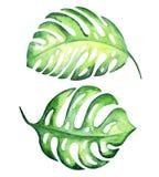 Folhas tropicais do monstera Imagens de Stock