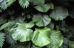 Folhas tropicais do verde Imagens de Stock