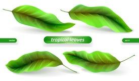 Folhas tropicais realísticas, grupo da folha isolado no fundo branco Ilustrações do vetor, elementos florais ilustração royalty free