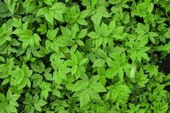 Folhas tropicais verdes Fotografia de Stock