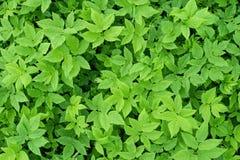 Folhas tropicais verdes Fotografia de Stock Royalty Free