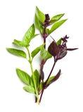 Folhas variadas da manjericão Foto de Stock