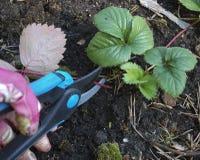 Folhas velhas de poda das tesouras da morango Foto de Stock