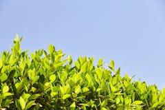 Folhas verde-clara contra o céu azul, na parte inferior do f Fotos de Stock Royalty Free