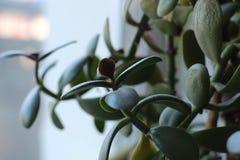 Folhas verde-clara do crassula que crescem em casa na soleira imagem de stock royalty free
