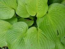 Folhas verde-clara do hosta Fotos de Stock
