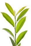 Folhas verdes Foto de Stock