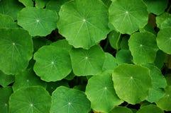 Folhas verdes foto de stock royalty free
