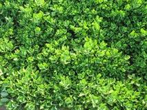 Folhas verdes Imagens de Stock