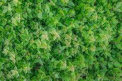 Folhas verdes Fotografia de Stock Royalty Free