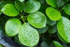 folhas verdes após chover Imagens de Stock