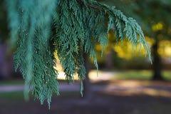 Folhas verdes bonitas de árvores do Thuja Fundo com a árvore conífera sempre-verde para seu projeto imagem de stock