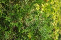 Folhas verdes bonitas do Natal de árvores do Thuja O galho do Thuja, occidentalis do Thuja é uma árvore conífera sempre-verde Pla fotos de stock