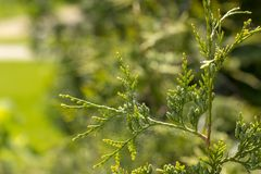 Folhas verdes bonitas do Natal de árvores do Thuja Os occidentalis do Thuja são uma árvore conífera sempre-verde fotografia de stock royalty free