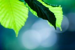 Folhas verdes bonitos Fotos de Stock Royalty Free