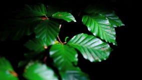 Folhas verdes coloridas de benjamin no vento vídeos de arquivo